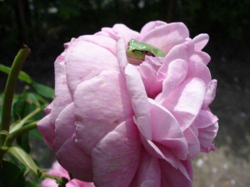 バラの中に埋もれているカエル.JPG