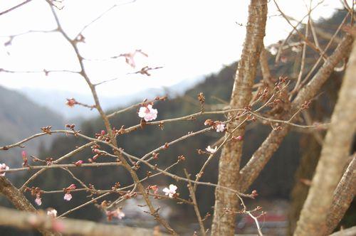 落合の桜.JPG