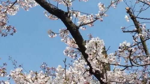 2017年桜.jpg