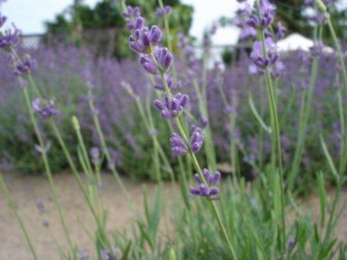 lavender angustifolia.JPG